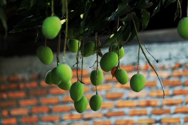Low angle view of mango fruits growing on tree against brick wall