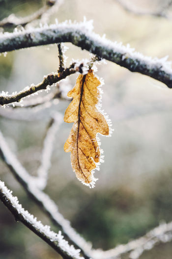 A close-up of a frozen leaf. Nature Outdoors Plant Winter Cold Temperature Close-up Focus On Foreground Leaf Plant Part Beauty In Nature Frozen No People Ice Leaves Frost Lonely