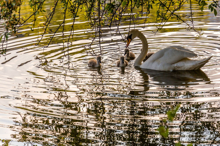 Mute Swan Swimming With Cygnets In Lake