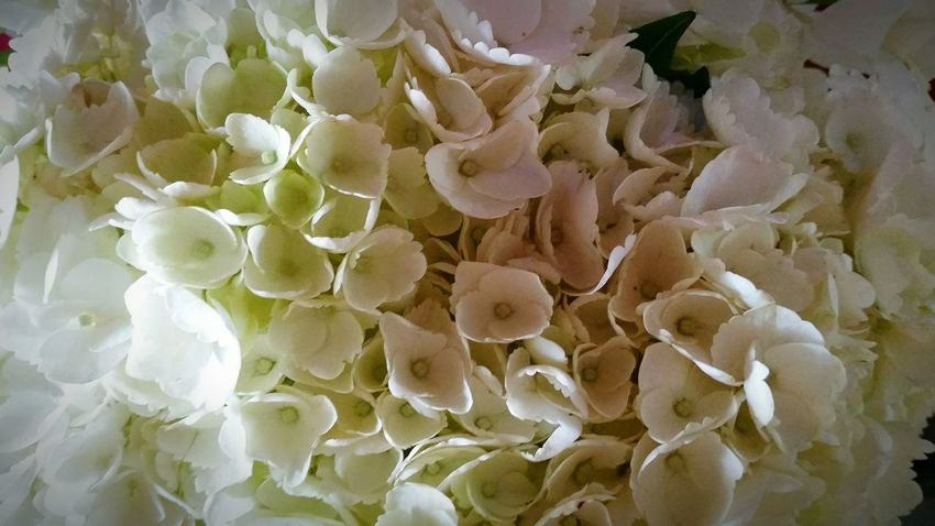 Hydrangeas multiplied perfection Hydrangeas Hydrangea Flower Hydrangea In Autumn HYDRANGEAIMBLOOM BEAUTIFULWHITEBLOOMS