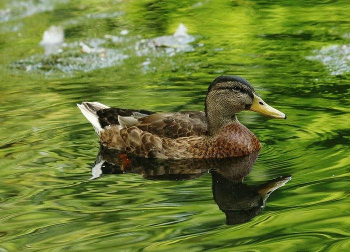 Duck Duck Swimming Duck Reflections Duck Photography One Duck Nature Water