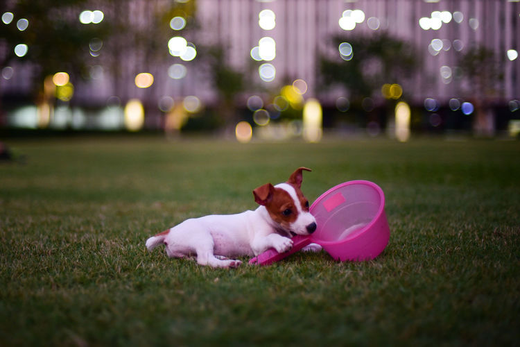 Dog with bucket on grassy field