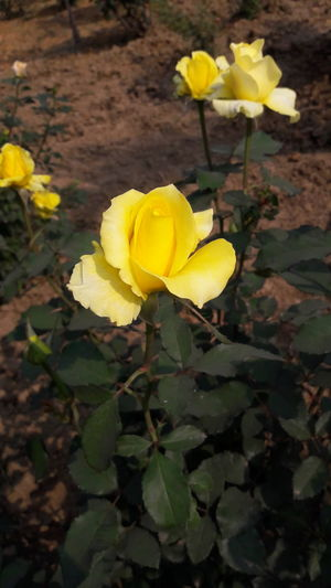 Happy Roseday Yellow Flower Close-up Leaf Beauty In Nature Mobile_photographer Pic28 Freshness Nature Fragility Growth Plant Flower Head Outdoors Petal No People Day