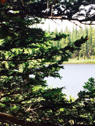 Tree Growth Nature Tranquility Tranquil Scene Beauty In Nature Scenics No People Day Branch Outdoors Plant Landscape Green Color Water Colorado Rosevelt National Forest