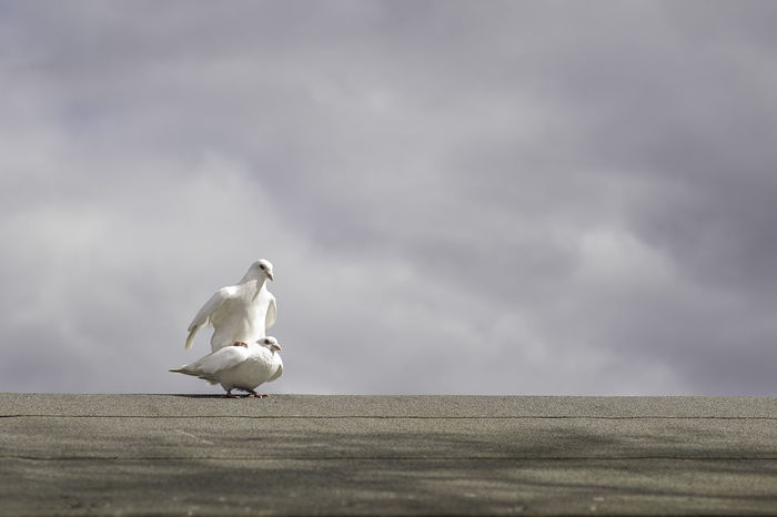 Two white doves in mating on a grey roof with cloudy sky background. Spring, love or romance concept. Animal Themes Animal Wildlife Animals In The Wild Beauty In Nature Bird Photography Birds Doves EyeEm Best Shots EyeEm Nature Lover Mating Mating Dance Mating Season Nature Nature Photography Nature_collection No People Outdoors Outdoors Photograpghy  Perching Sexual_nature Stormy Weather White