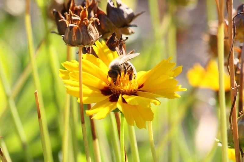 iInsectaAnimals In The WildaAnimal ThemesbBeauty In NaturefFragilitynNatureoOne AnimalyYellowpPetalaAnimal WildlifepPollinationsSymbiotic RelationshipfFreshnessbBuzzinggGrowthbBeepPlantfFlower HeadnNo PeoplepPhotographycCanonSummer Contests Hobbyphotography Flower