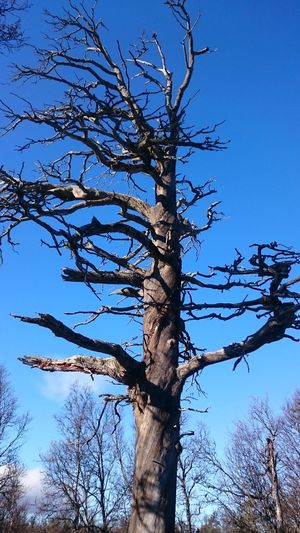 Tree Tree Trunk Low Angle View Branch Bare Tree Nature Sky Outdoors Blue Growth No People Day Clear Sky Beauty In Nature Tree Area Dead Tree Grövelsjön Hiking