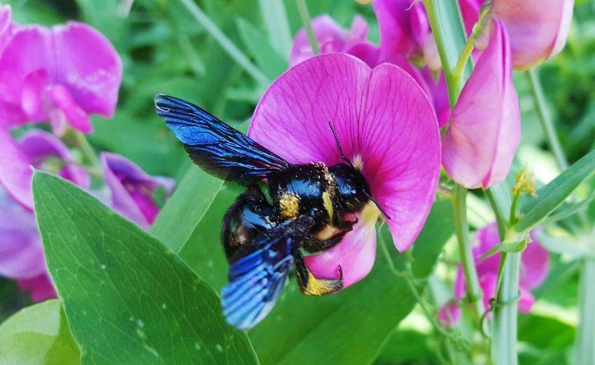 Seltener Besuch im Garten! 😊 Garten Natur Nature Beekeeper Bee Bienen  HoneyBee Imker Beekeeping Lebensraum Imkerei Violette Bee Violette Holzbiene Selten Dicker Brummer