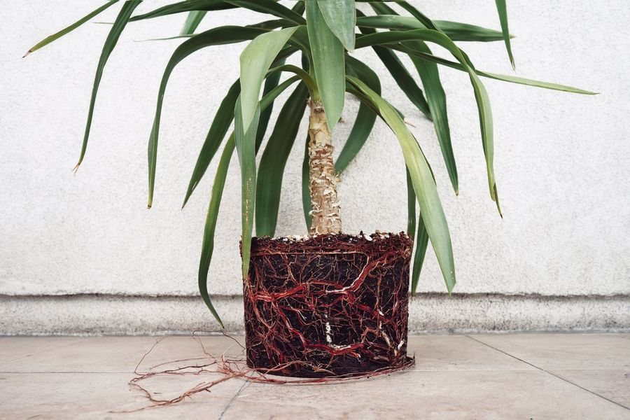 Veins. Gardening My Balcony Root Roots Plant Root Yucca Nature Leaf Close-up Plant Potted Plant Plant Life Flower Pot Botany