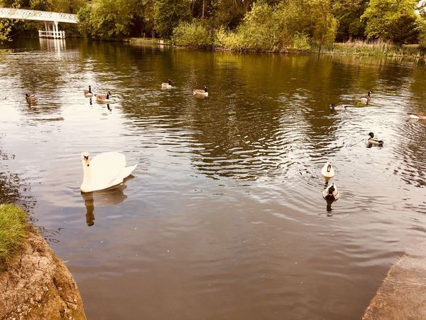 Swan & Ducks Swimming in the River Thames No People River Duck Swan River Thames River Animals In The Wild Water Bird Animal Wildlife Vertebrate Animal Themes Lake The Great Outdoors - 2018 EyeEm Awards