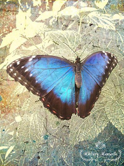 Morpho Peleides 💕 Morpho Peleides Butterfly Insect Insect Photography Nature Nature Photography Naturelovers Colors I LOVE BLUE ♡ Photographyart Art