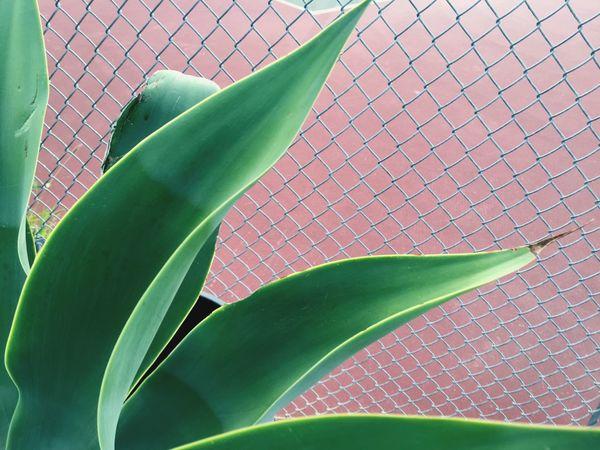 Agave Plants Agave