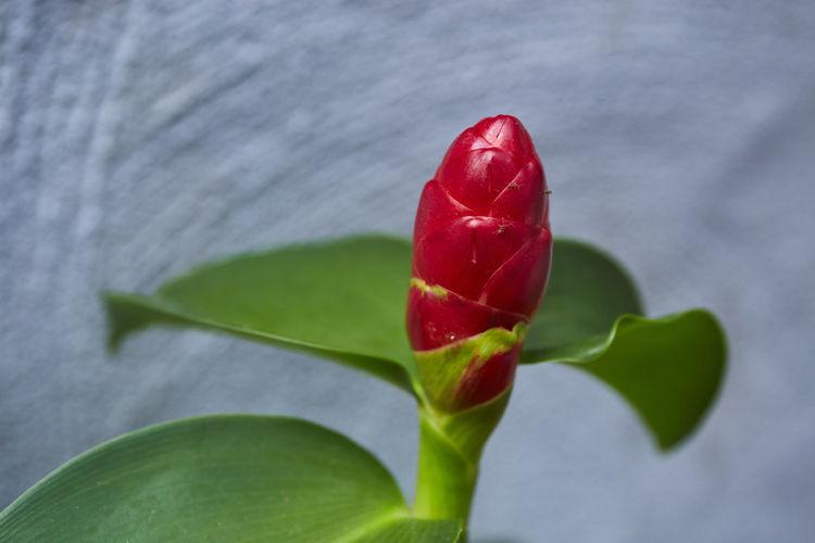 Red ginger