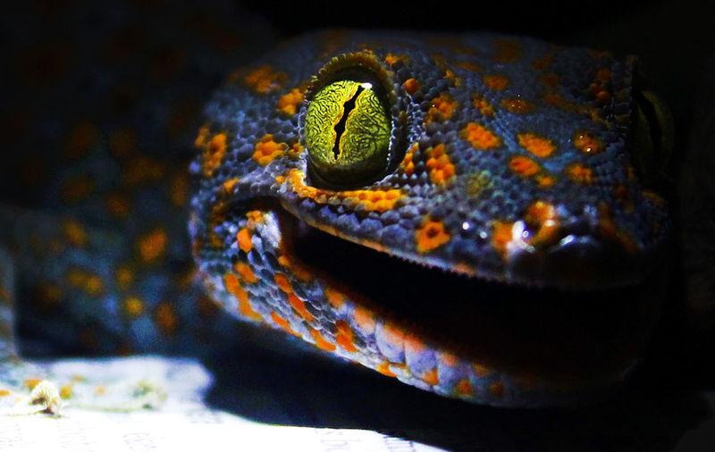 Gecko Gecko Lizard Gecko In The Dark Gecko Eye Animal Close-up Reptile Animalphotography Animal Head  Animals In Captivity Animal Photography Macro Photography Animal Head  Sell Sellphotos For Sale