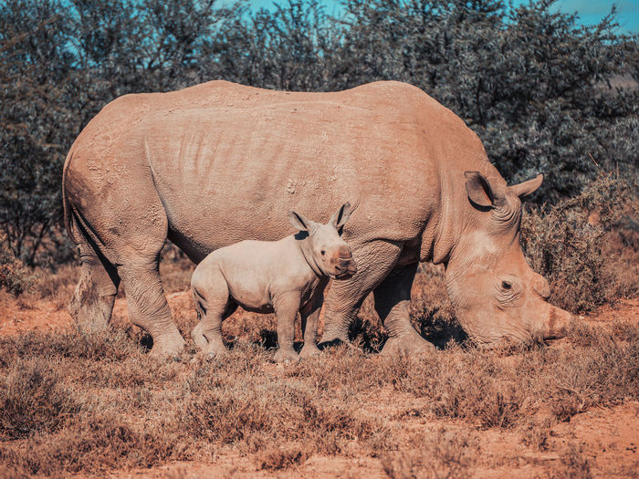 Rhinoceros with young animal on field