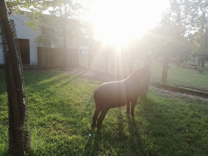 Tree Pets Dog Sunlight Standing Back Lit Animal Themes Grass Sky Paddock German Shepherd Asturias Pasture Flock Of Sheep Mixed-breed Dog Fence Foal Chainlink Fence Foggy Horse Barbed Wire Grazing Ranch Pony Livestock Picket Fence Sheep Stable