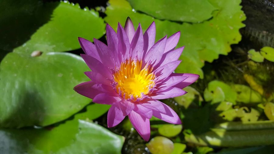 Nature Beauty In Nature Flower Growth Lotus Water Lily Water Water Lily Plant Flower Head No People Fragility Petal Freshness Floating On Water Outdoors Leaf Green Color Close-up Day Lily Pad