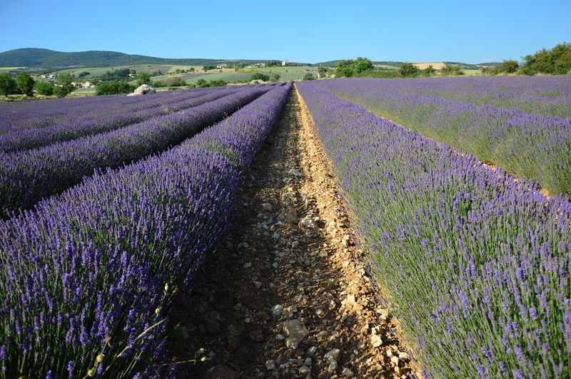 Lavenders in Provence Agriculture Aromatherapy France Growing Lavenders In Provence Nature Agriculture Land Aromatherapy Oil Essential Oil Flower Flowering Plant Healthy Healthy Lifestyle Lavender Lavender Colored Lavenders Levender Levender Field Perfume Plateau D'Albion Purple Purple Color Purple Flower South Of France South Of France Flower