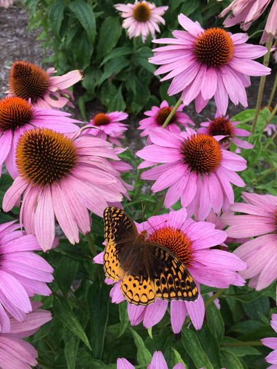 Great Spangled Fritillary Natural Beauty Speyeria Cybele Tadaa Community Flower Eastern Purple Coneflower Coneflower Fragility Petal Pink Color Pollen Plant Nature High Angle View Flower Head Freshness Growth Day Beauty In Nature Purple Outdoors No People Blooming Close-up Purist No Edit No Filter