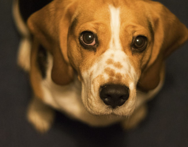 Beagle dog Animal Body Part Animal Eye Animal Mouth Animal Nose Canine Close-up Dog Domestic Domestic Animals Focus On Foreground High Angle View Hungry Indoors  Looking At Camera Mammal No People One Animal Pets Portrait Snout Vertebrate