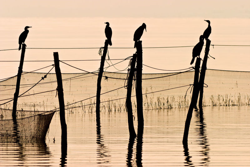 Silhouette of birds perching on wooden post at sunset