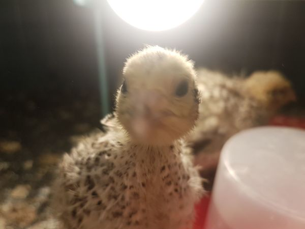 Wachtelküken Pets Close-up Baby Chicken Chicken - Bird Young Bird