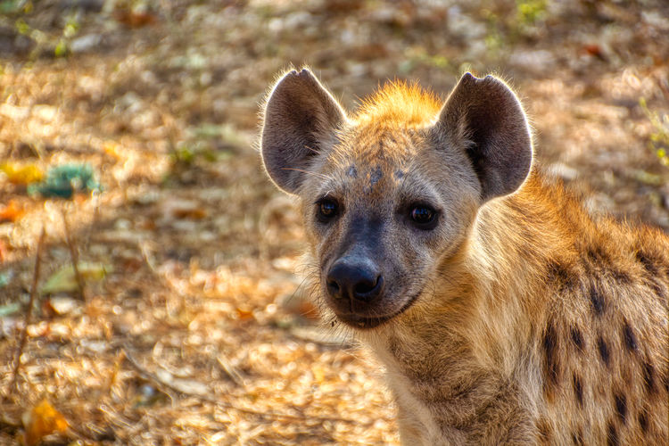Hyena in the wild park of Kanilai One Animal Animals In The Wild Animal Wildlife Mammal Portrait Looking At Camera No People Focus On Foreground Day Nature Close-up Animal Body Part Outdoors Looking Land Vertebrate