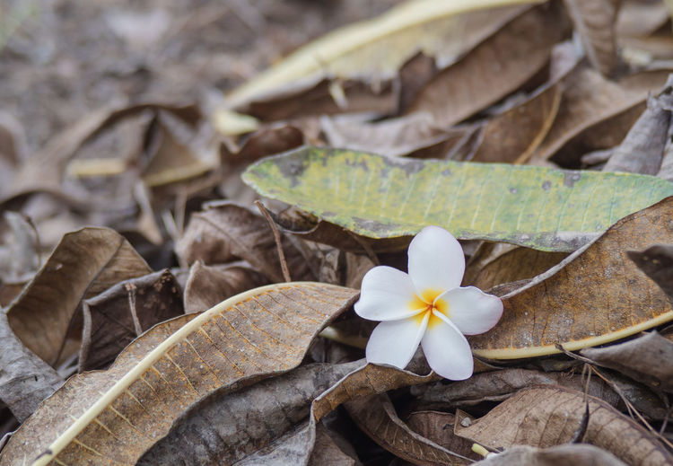 Close-up of frangipani on leaves on field