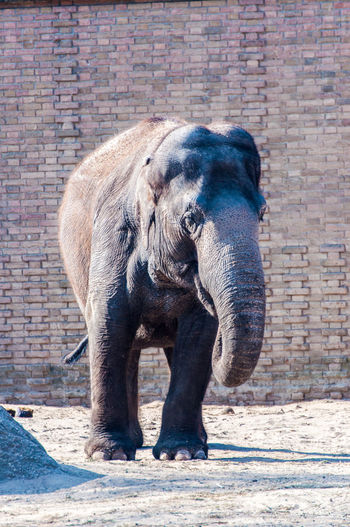 Elephant at the Berlin Zoo Animal Themes Animal Trunk Animal Wildlife Animals In The Wild Brick Wall Day Elephant Full Length Mammal No People One Animal Outdoors Safari Animals Standing