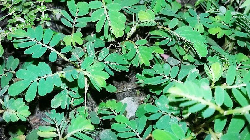 Herbal medicine Green Color Outdoors In Eyeem Galaxidi Greece Beauty In Nature Jambi Indonesia