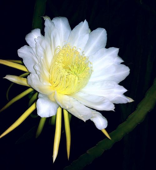 Dragon_fruit_flowers at Night Flowerporn Beauty In The Darkness Flower Flowers Flower Head Flower Photography Photo Photography Beauty In Nature Natural Beatiful View Beautiful Night Photography Paint The Town Yellow