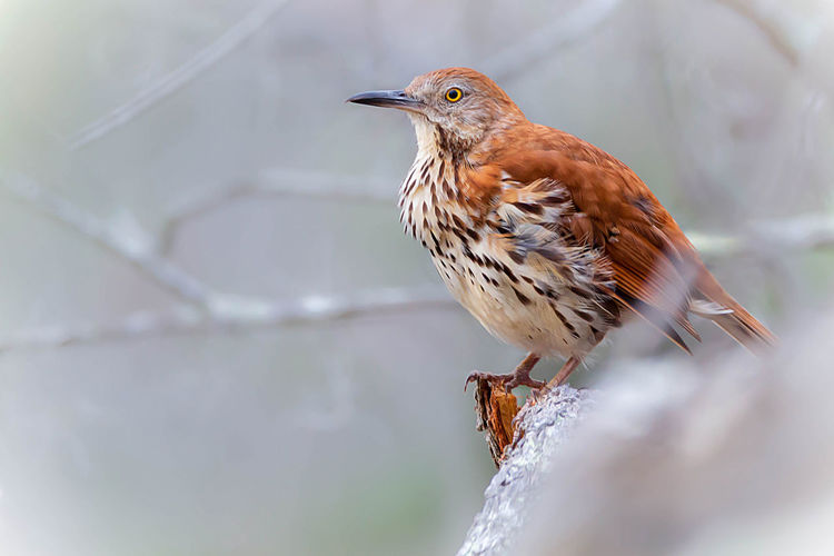 Vertebrate Animal Themes Animal One Animal Bird Animals In The Wild Animal Wildlife Perching No People Selective Focus Close-up Day Nature Looking Outdoors Beauty In Nature Robin Brown Focus On Foreground Looking Away