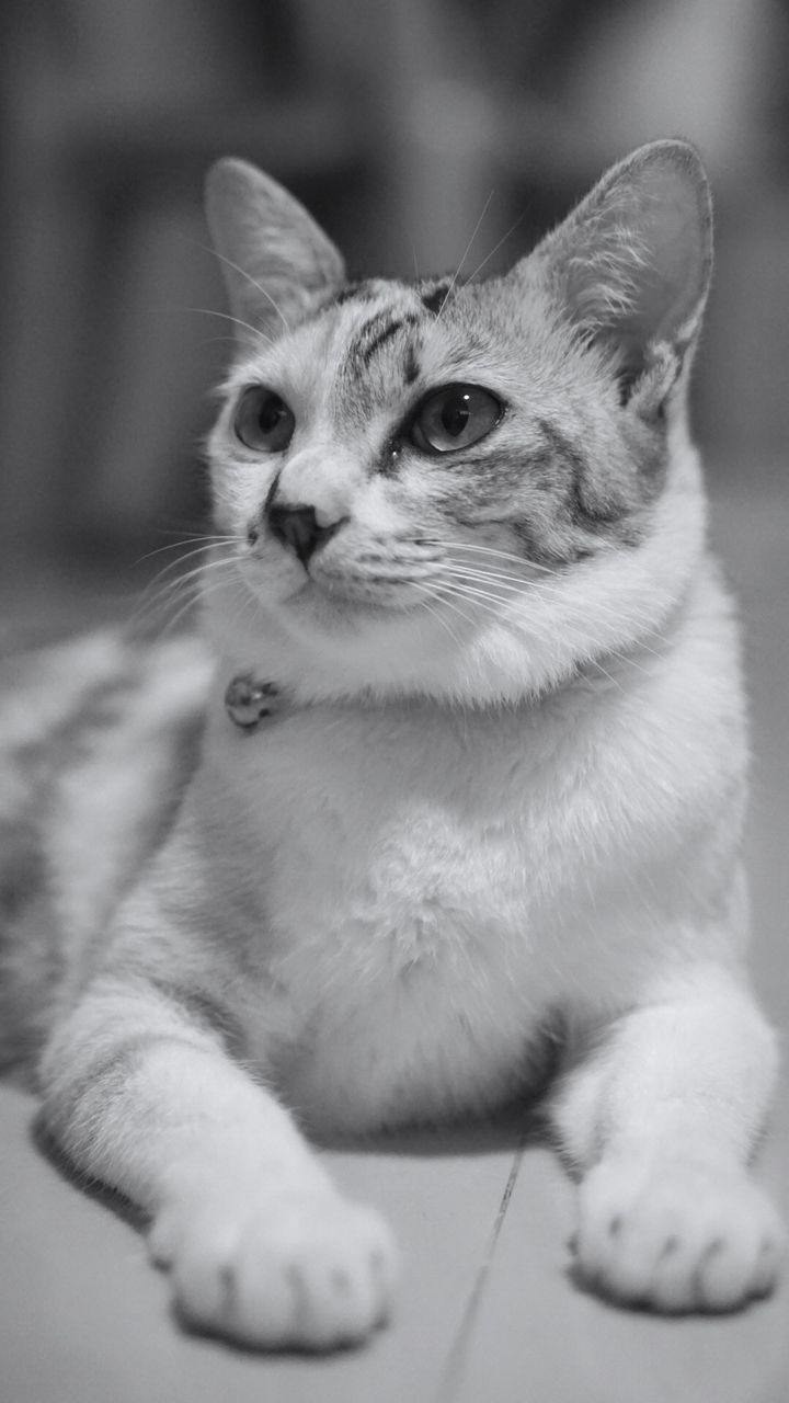 pets, animal themes, animal, domestic, mammal, domestic animals, vertebrate, cat, domestic cat, one animal, feline, indoors, looking away, looking, no people, close-up, portrait, focus on foreground, sitting, relaxation, whisker