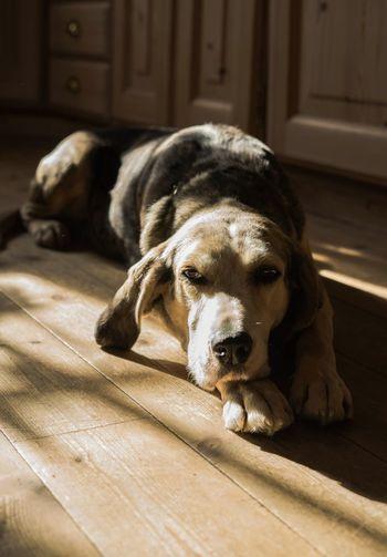 Portrait of dog lying down on wooden floor