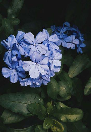 🌧 Plumbago Auriculata Rain Beauty In Nature Blue Flower Flower Head Fragility Freshness Nature Outdoors Petal Petals Plant Plumbago Summer