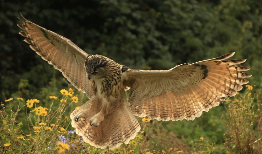 View of owl landing over flowers
