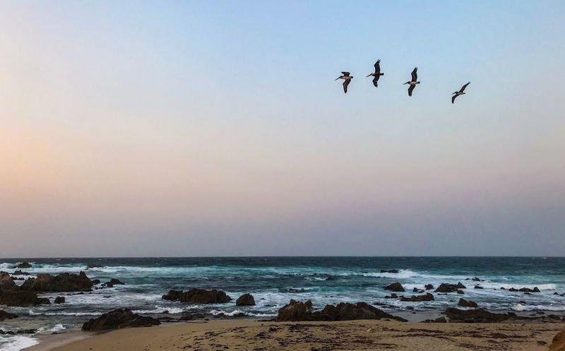 Sea Bird Horizon Over Water Beach Flying Pelicans