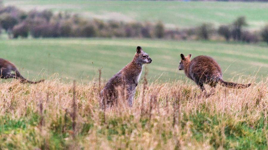 Wallabies in a field