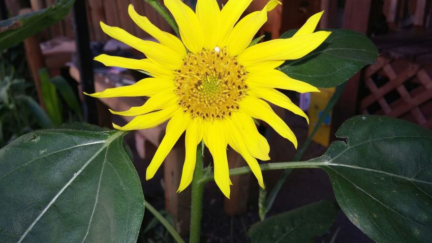 Artist Sunflower Outdoors Summer2015 Nature On Your Doorstep Plants And Flowers Taking Photos Nature Check This Out
