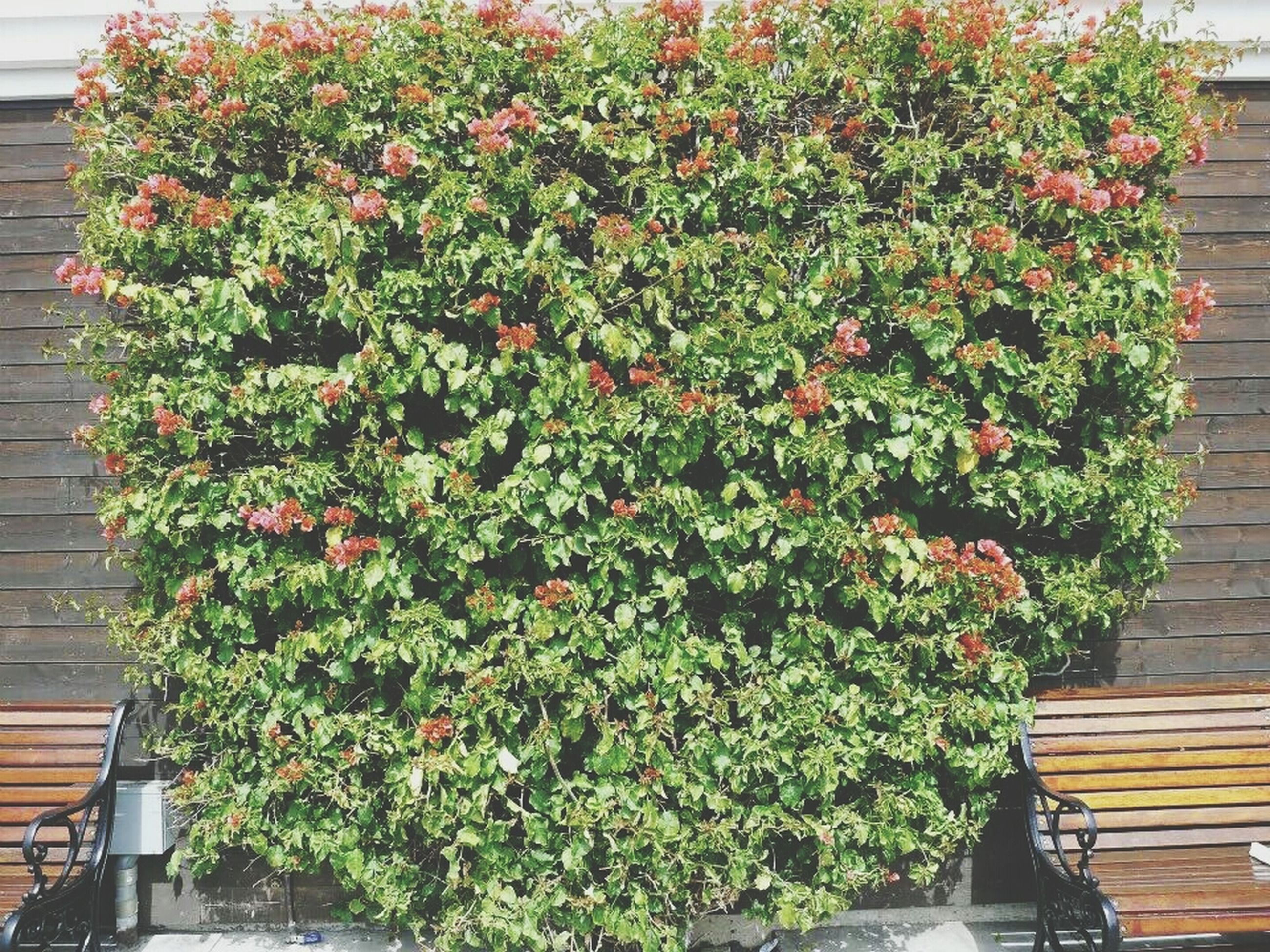 growth, plant, flower, potted plant, leaf, green color, freshness, nature, front or back yard, wood - material, flower pot, wall - building feature, beauty in nature, fragility, growing, outdoors, day, house, no people, red