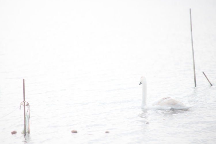 Swan (high key) Water Animal Themes Nature Animal Animal Wildlife Bird No People Cold Temperature Group Of Animals Swimming Animals In The Wild Sea Winter Vertebrate Day Outdoors Beauty In Nature Floating On Water Animal Family