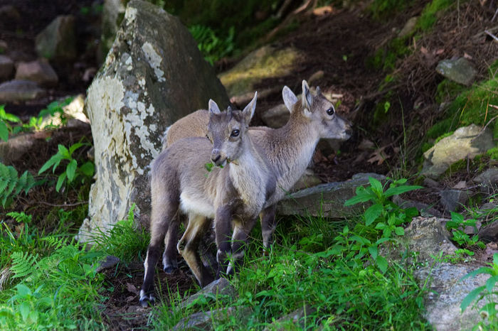 Little baby goats in the mountains near the forest Baby Goats Animal Themes Animal Wildlife Animals In The Wild Baby Mountain Goats Day Fox Mammal Mountain Goats Nature No People Outdoors Togetherness Two Animals Young Animal