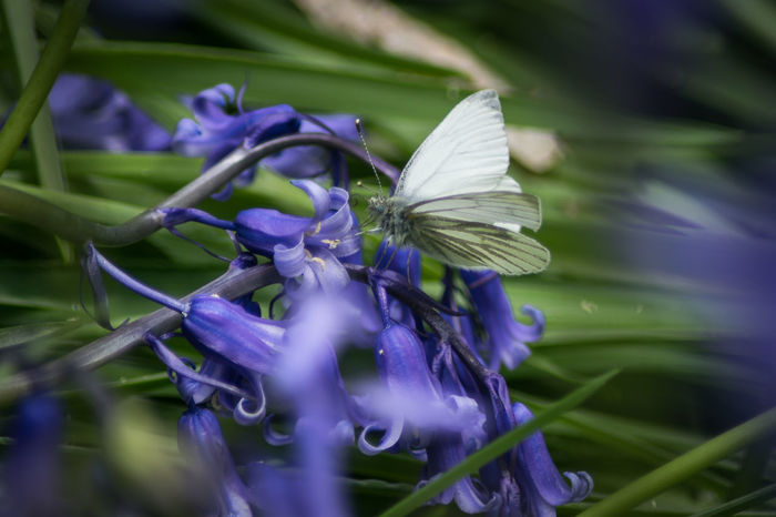 Bluebell Outdoors Butterfly Butterflies And Flowers Bluebells Bluebell Butterfly - Insect Butterflies Close-up Insect