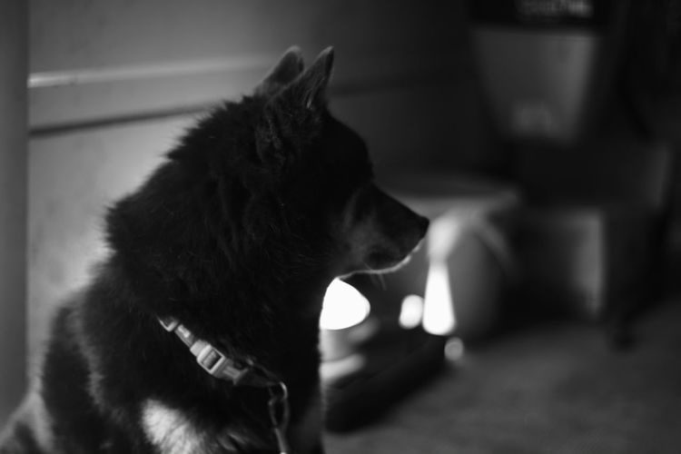 Shy boy My Photography Voigtlnder Fujifilm X-Pro1 Japanese  Voightlander Nokton Classic 40mm/F1.4 SC X-Pro1 Japan B & W  B & W Photography Black And White Black And White Photography Dog Love Shiba Inu Shiba Inu LOVE Shibainu Shiba Dog Dog Dogs Japanese Dogdog
