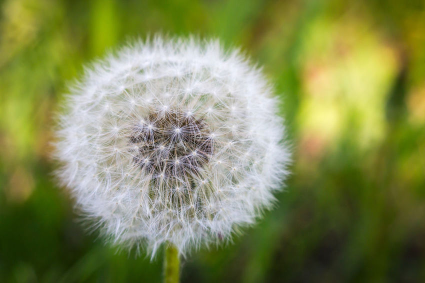 Beauty In Nature Blossom Botany Close-up Dandelion Day Flower Flower Head Focus On Foreground Fragility Freshness Growth In Bloom Nature No People Outdoors Plant Seed Selective Focus Softness Stem Uncultivated White White Color Wildflower