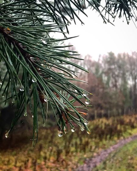 Sony Alpha a65 w Sony 35mm F1.8 lens Plant Growth Tree Beauty In Nature Nature Focus On Foreground Drop Wet Water No People Day Freshness Coniferous Tree Pine Tree Tranquility Close-up Green Color Outdoors Rain RainDrop