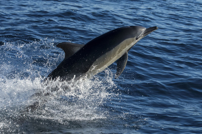 long-beaked common dolphins leap out of the water in South africa Nature Swimming Wildlife Photography Animal Animal Themes Animal Wildlife Animals In The Wild Aquatic Mammal Common Dolphin Delphinidae Fastest  Flipper Jumping Leaping Mammal Marine Motion Nature Ocean One Animal Sea Sea Life Splashing Water Wildlife