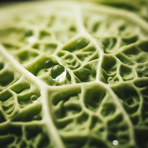 Close-up of water drop on textured cabbage leaf