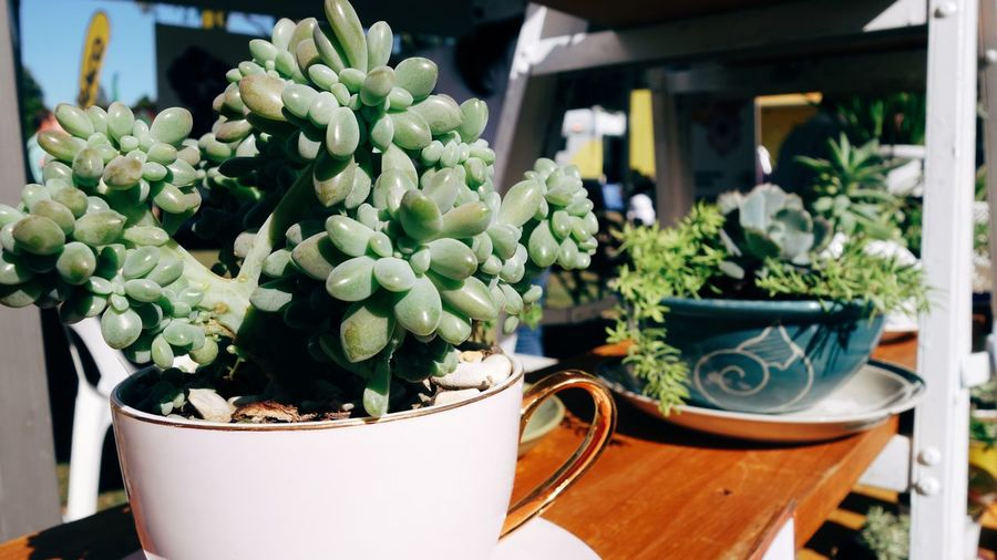 Cactus Close-up Day Flower Fragility Freshness Green Color Growth Indoors  Nature No People Plant Potted Plant Retail  TeaCup Upcycle
