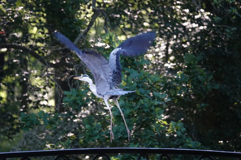 Blue Heron Heron Tree Animals In The Wild Plant Animal Animal Themes One Animal Spread Wings Animal Wildlife Bird Vertebrate Flying No People Nature Day Mid-air Growth Low Angle View Forest Outdoors Focus On Foreground